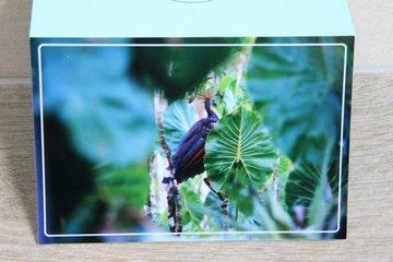 Hoatzin bird Ecuador