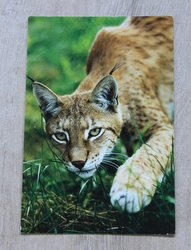 postcard from russia lynx
