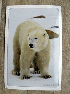 postcard of a polar bear
