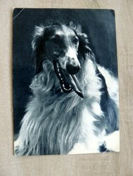 dog greyhound postcard
