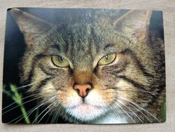 WWF postcard of european wild cat