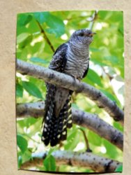Postcard of a cuckoo